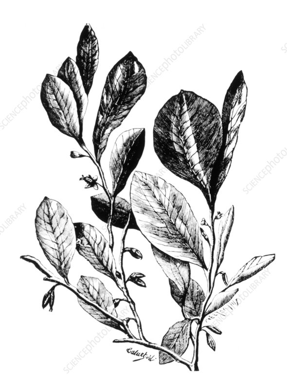Engraving of coca plant