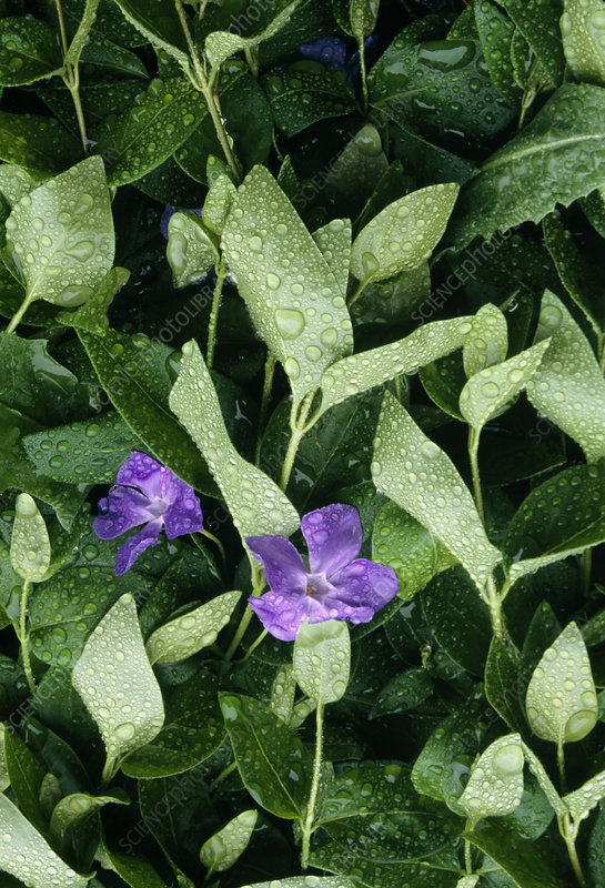 Periwinkle plant in flower