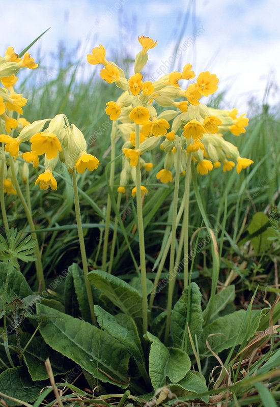 Flowering cowslip plant, Primula veris