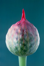 Bud of round-headed leek, Allium