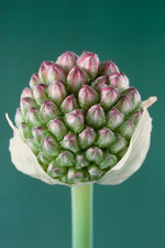 Round-headed leek flower, Allium