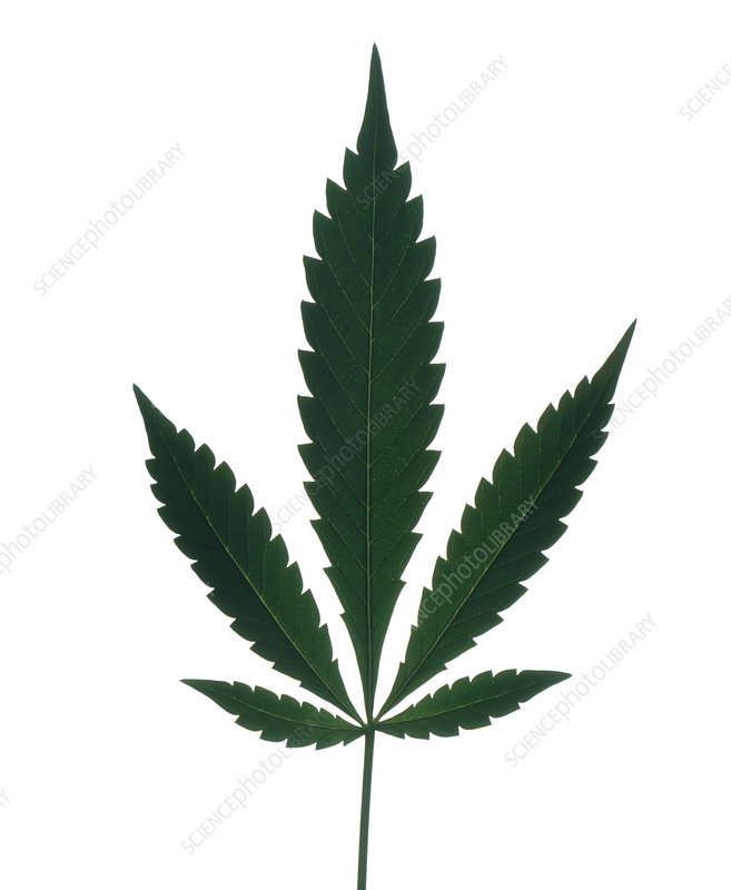 Leaves of marijuana plant, Cannabis