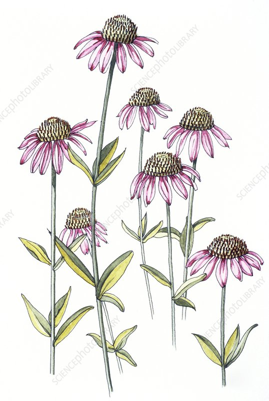 Art of purple cone- flower, Echinacea