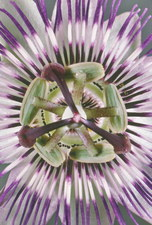 Open head of a passion flower, Passiflora