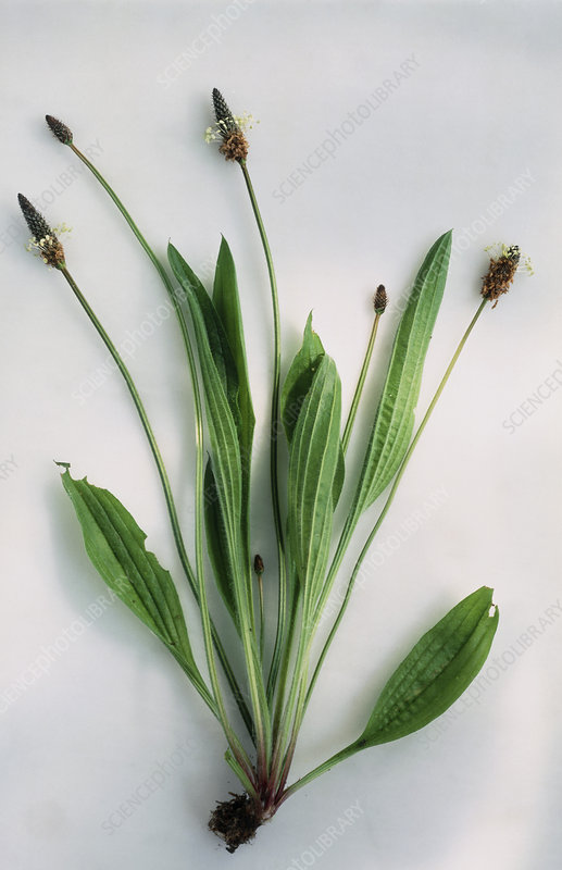 Leaves and flowers of ribwort
