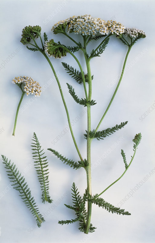 Yarrow flower head and leaves
