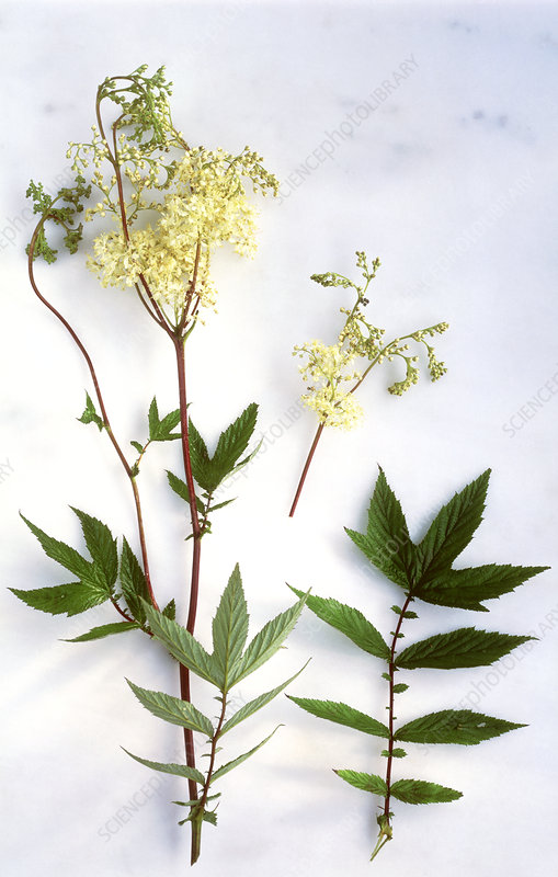 Meadowsweet leaves and flowers