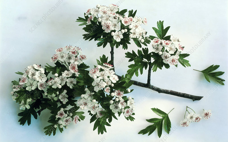 Branch of hawthorn (Crataegus monogyna)