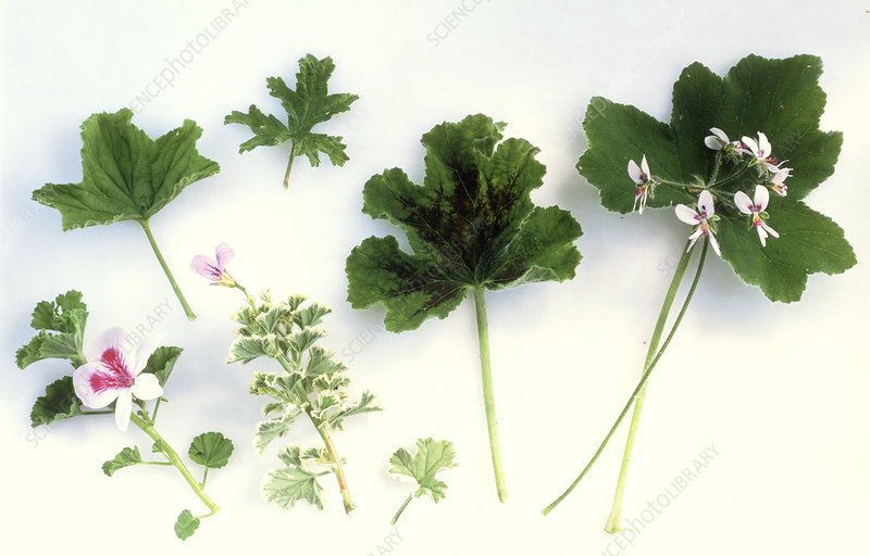 Leaves of scented geraniums