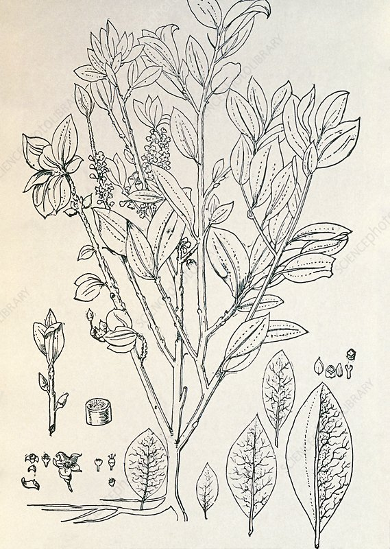 Historical art of coca plant