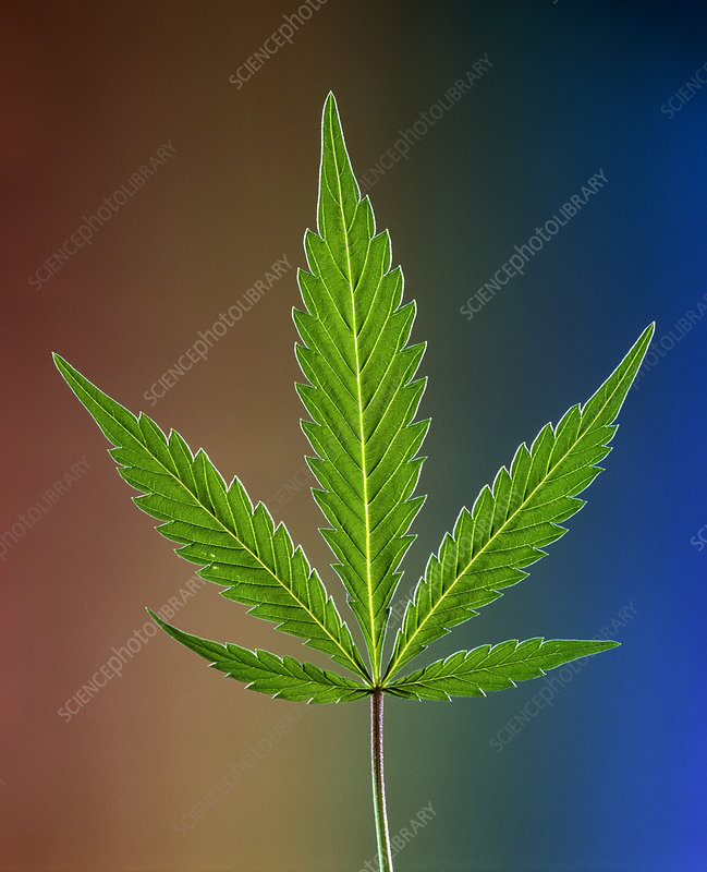Marijuana leaf, Cannabis sativa