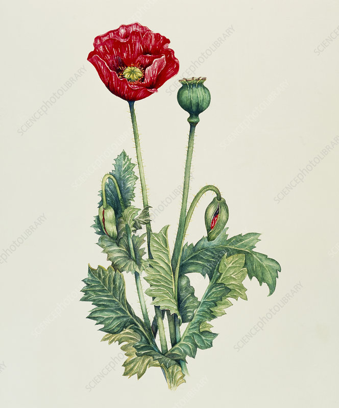 Art of an opium poppy