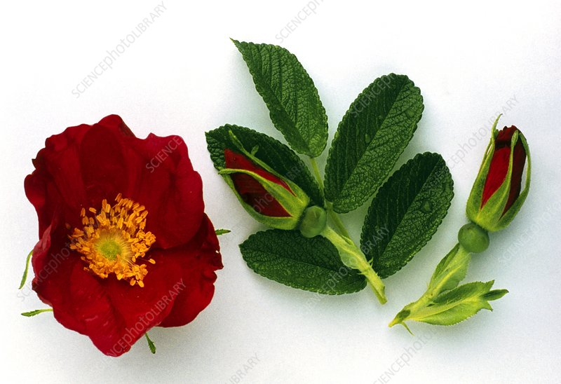 Dog rose flower, buds and leaves
