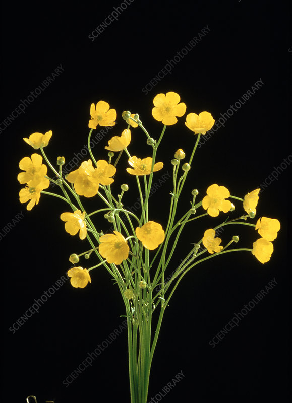 Common buttercups
