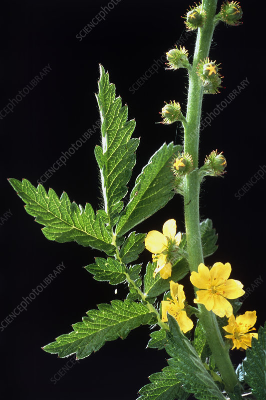 Common agrimony