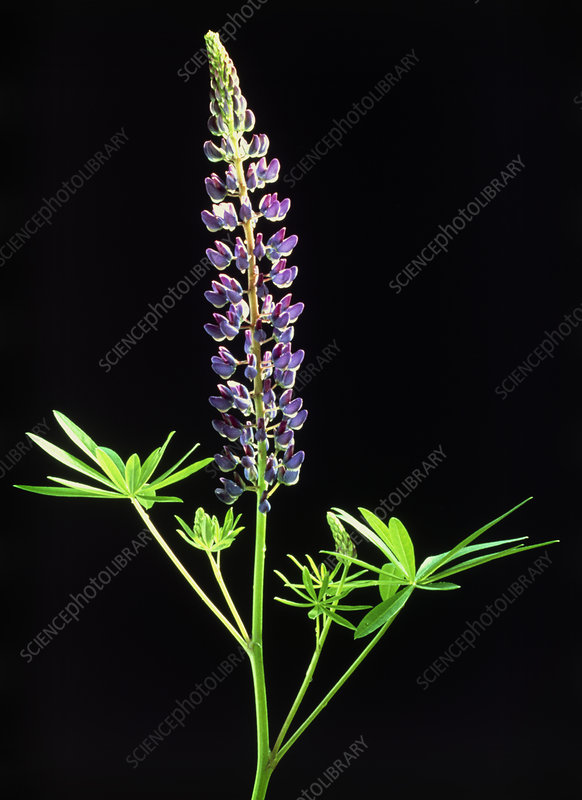 Wild lupin plant