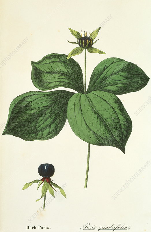 Herb paris plant