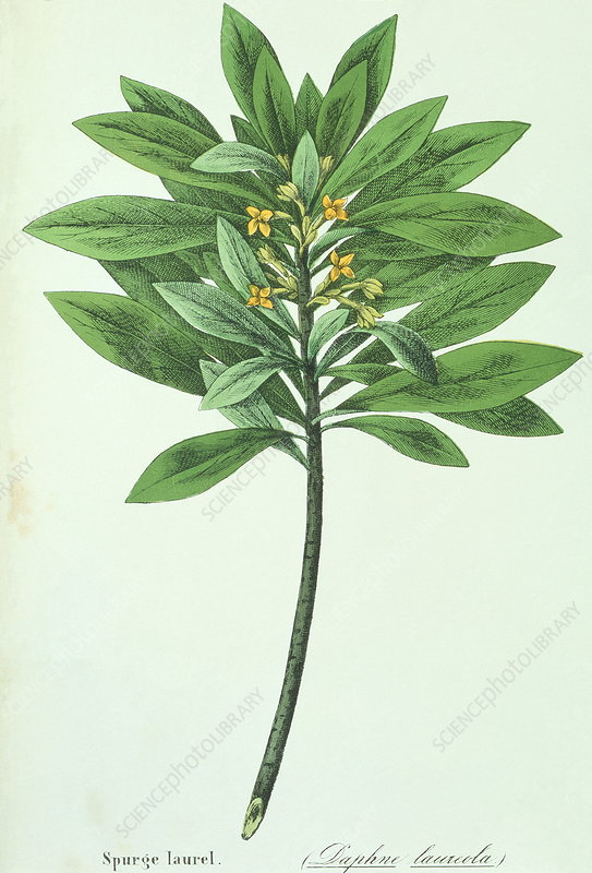Spurge laurel branch
