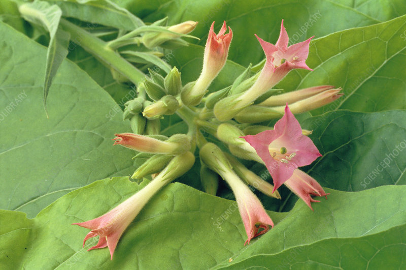 Tobacco flowers and leaves