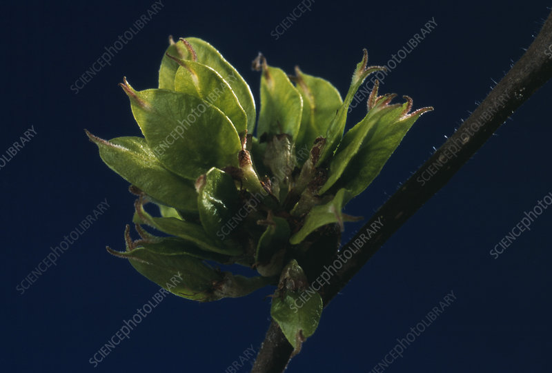English elm leaves