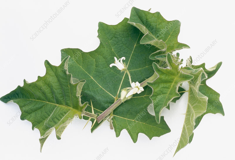Indian solanum leaves