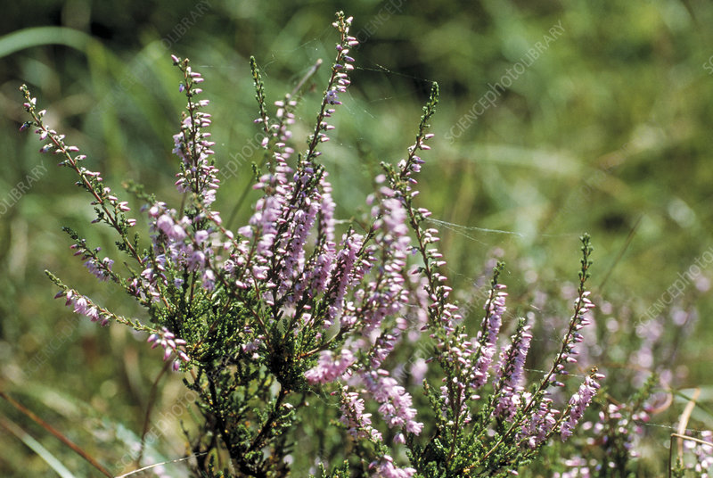 Calluna vulgaris heather flowers