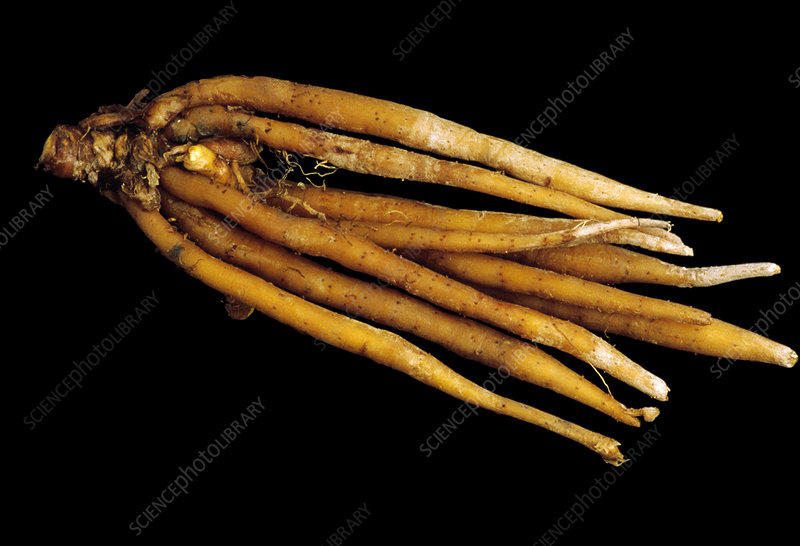 Galangal roots