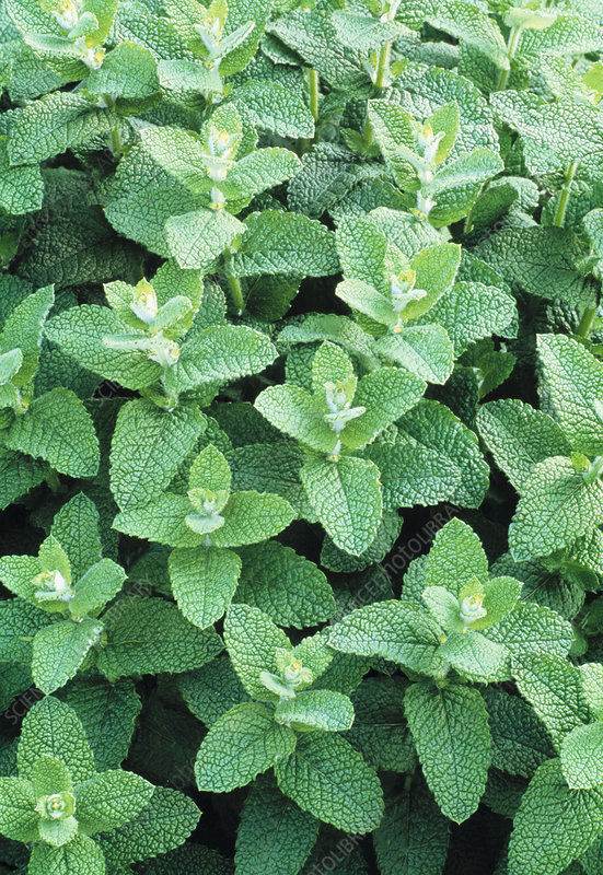 Spearmint plants