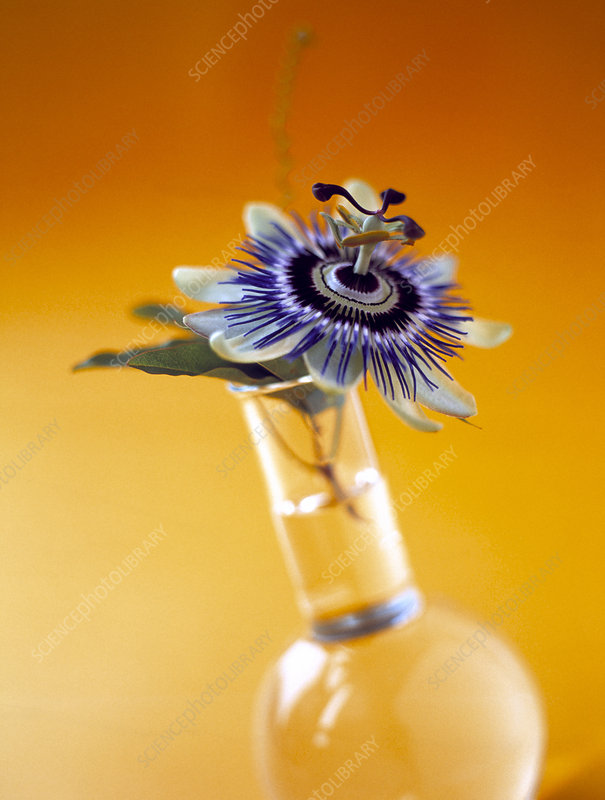 Passion flower in vase