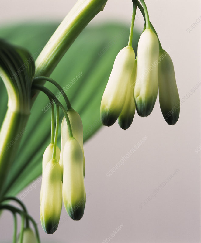 Solomon's seal flowers