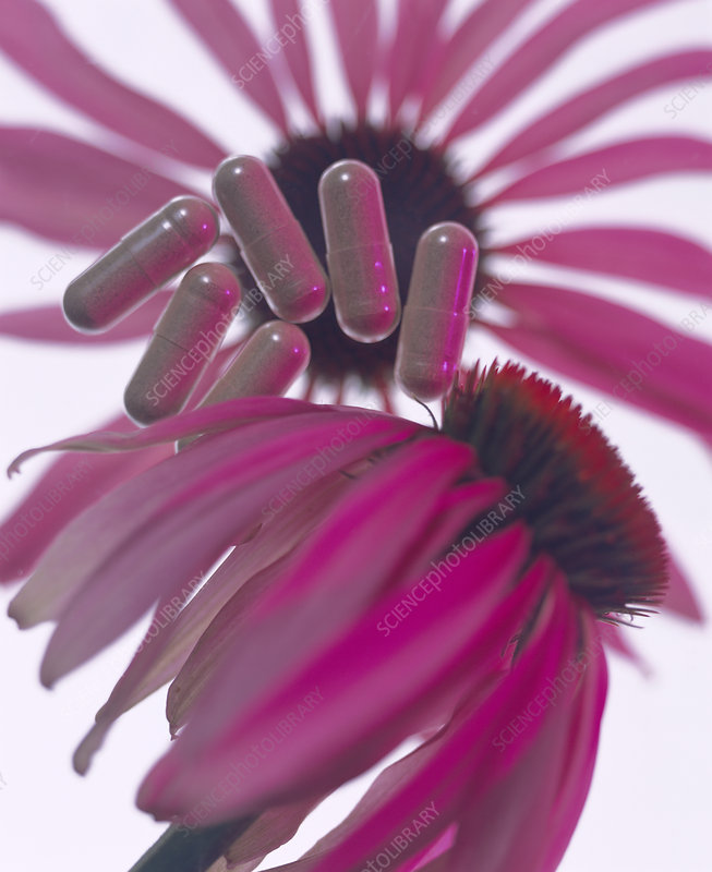 Echinacea flowers and capsules