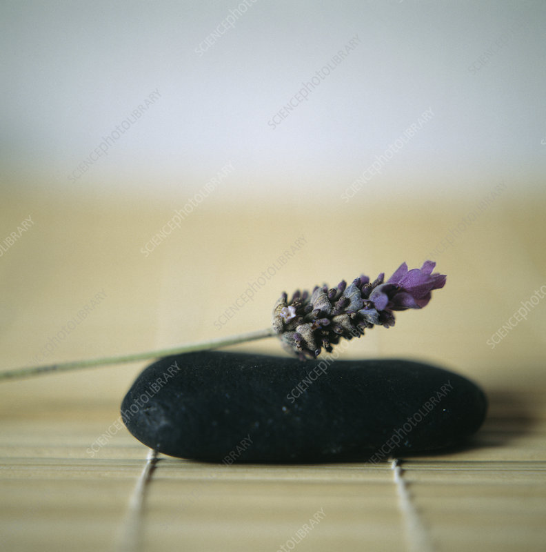Lavender flower on a pebble