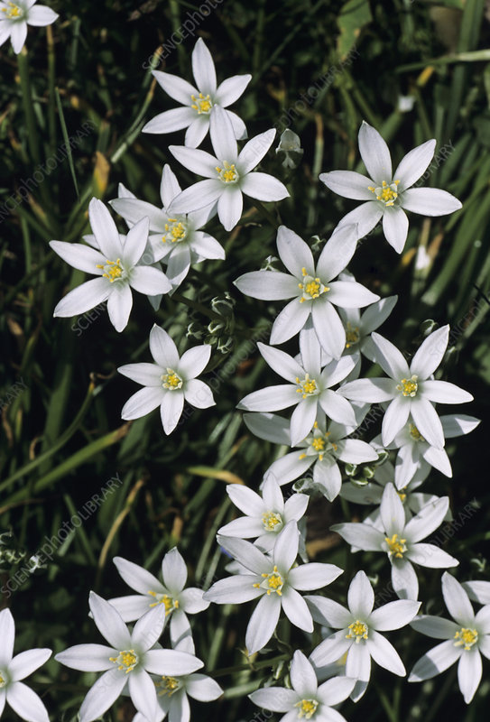 Star-of-Bethlehem flowers