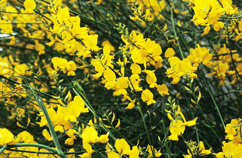 Spanish broom flowers