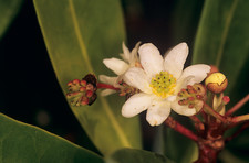 Winter's bark flower (Drimys winteri)