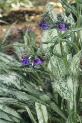 Common lungwort (Pulmonaria longifolia)