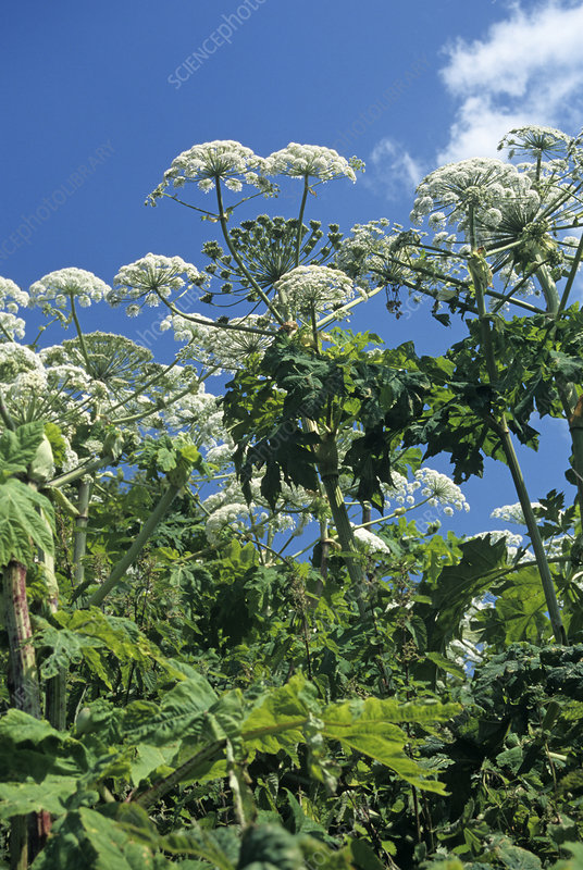 Giant hogweed flowers