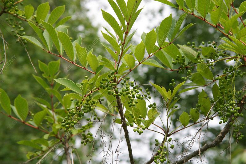 poison sumac tree. poison sumac rashes.