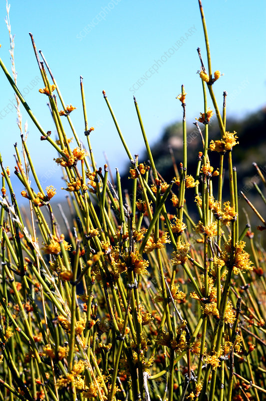 Ephedra in the Chihuahuan Desert
