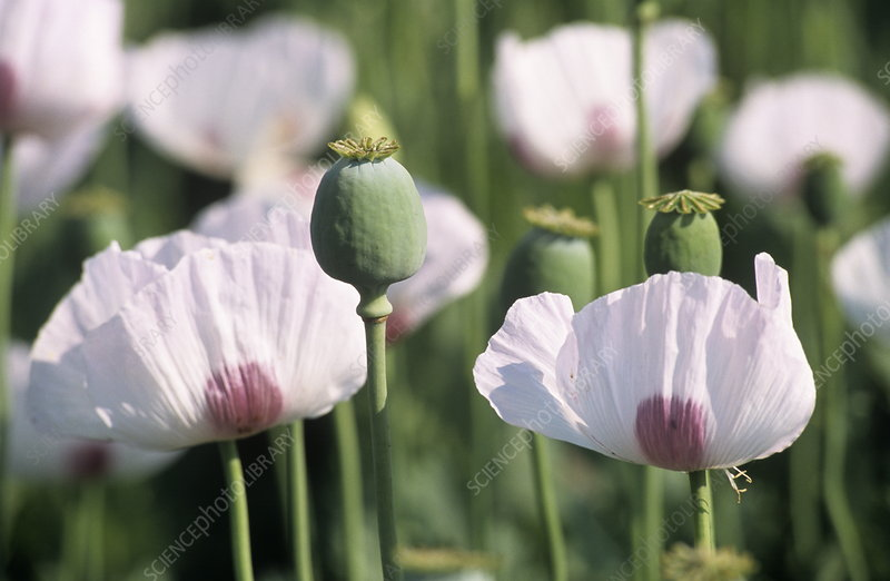 Opium poppy flowers and seed heads