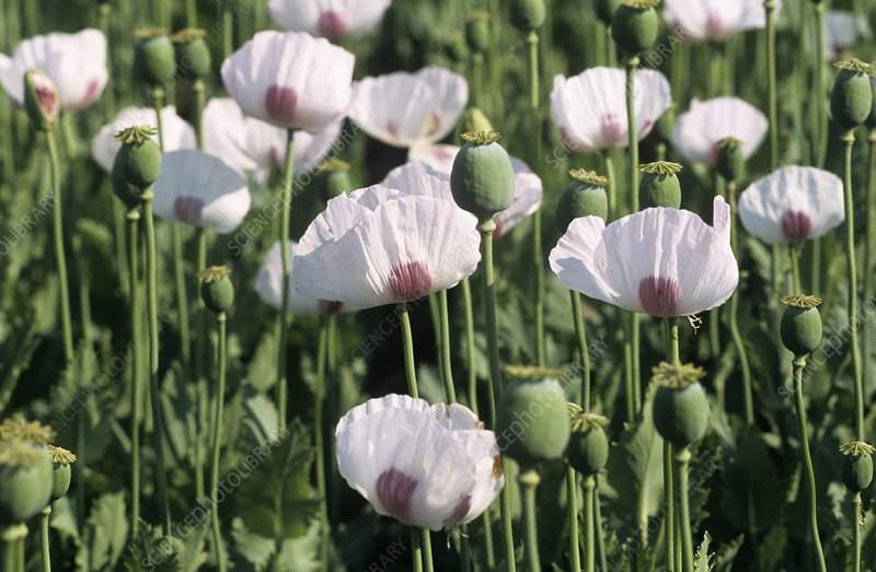Opium poppy flowers and seed heads stock image b6400965 science opium poppy flowers and seed heads mightylinksfo