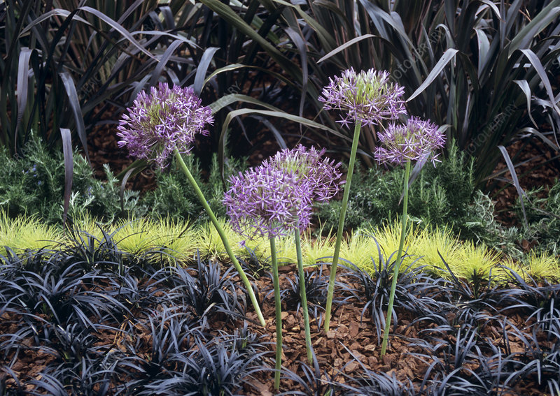 Allium (Allium sp.) flowers.