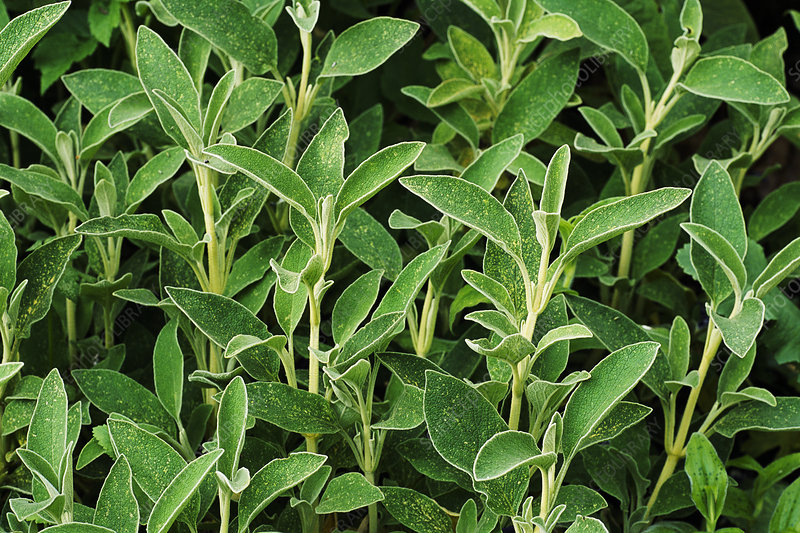 Sage (Salvia officinalis)