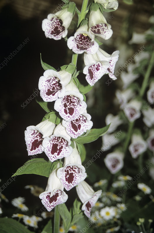 Foxglove (Digitalis 'Pam's Choice')