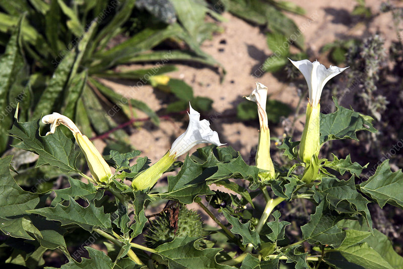 Thorn apple (Datura stramonium)