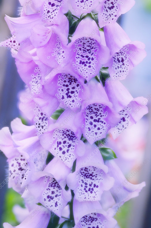 Foxglove 'Giant Shirley' flowers