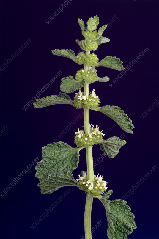 White horehound (Marrubium vulgare)