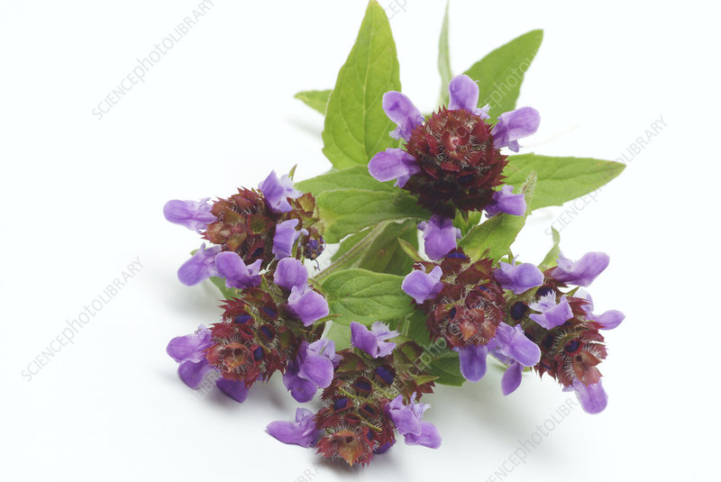 Common selfheal (prunella vulgaris)