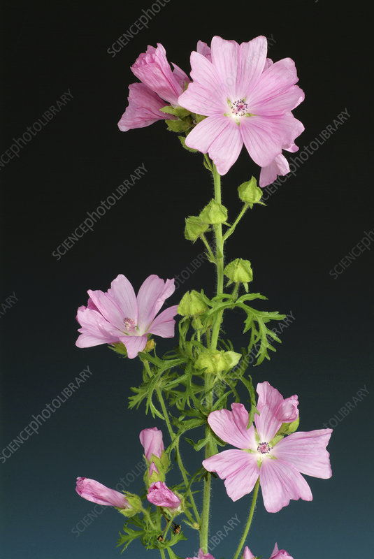 Musk mallow flowers (Malva moschata)