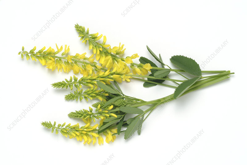 Sweet clover (Melilotus officinalis)